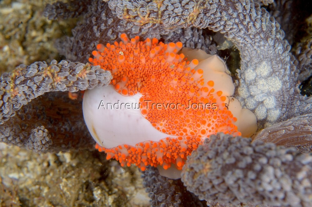 Golden Egg Cowrie - Ovula costellata by Andrew Trevor-Jones