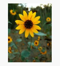 A Garden of Sunflowers  Photographic Print