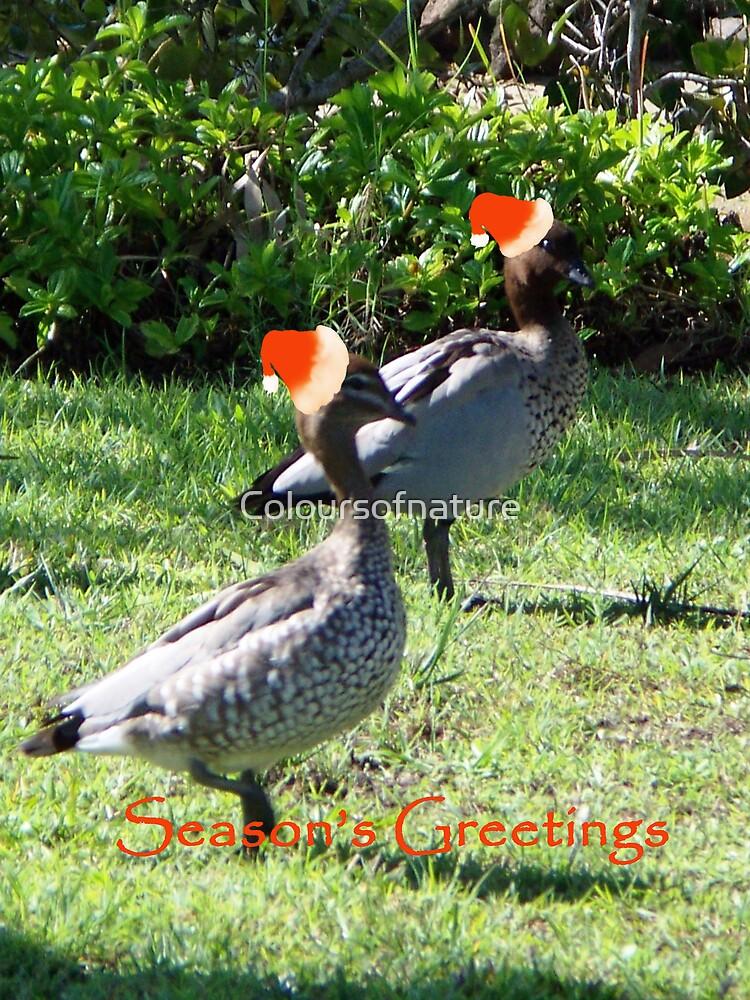 Mallard Ducks by Coloursofnature