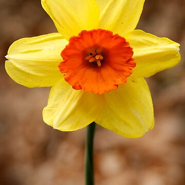 Orange throat Daffodil by discoden