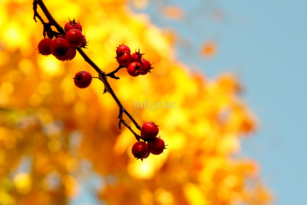 Autumn Berry I by lallymac