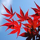 Red Japanese Maple by markophoto