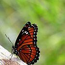 Viceroy Butterfly, Side View  by Rosalie Scanlon