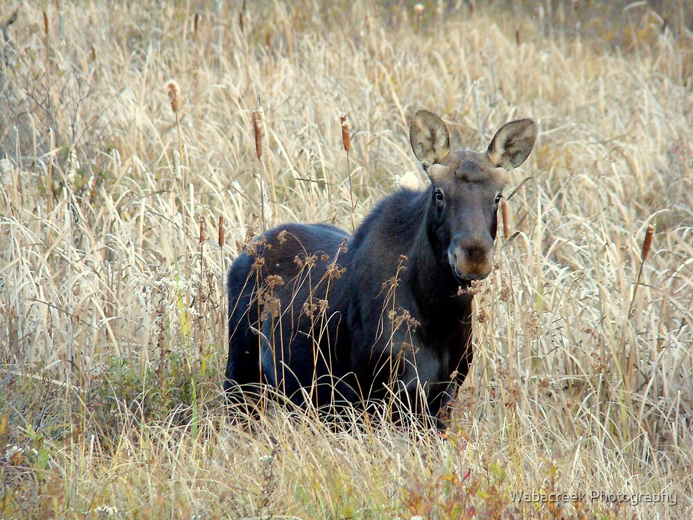 Young bull moose by Jocelyne Phillips