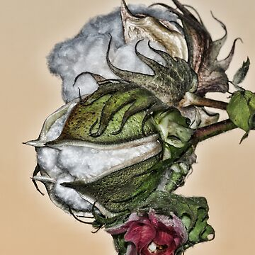 Cotton Plant by mtilton
