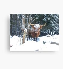 Scottish Highland Cattle Cow 1264 Canvas Print