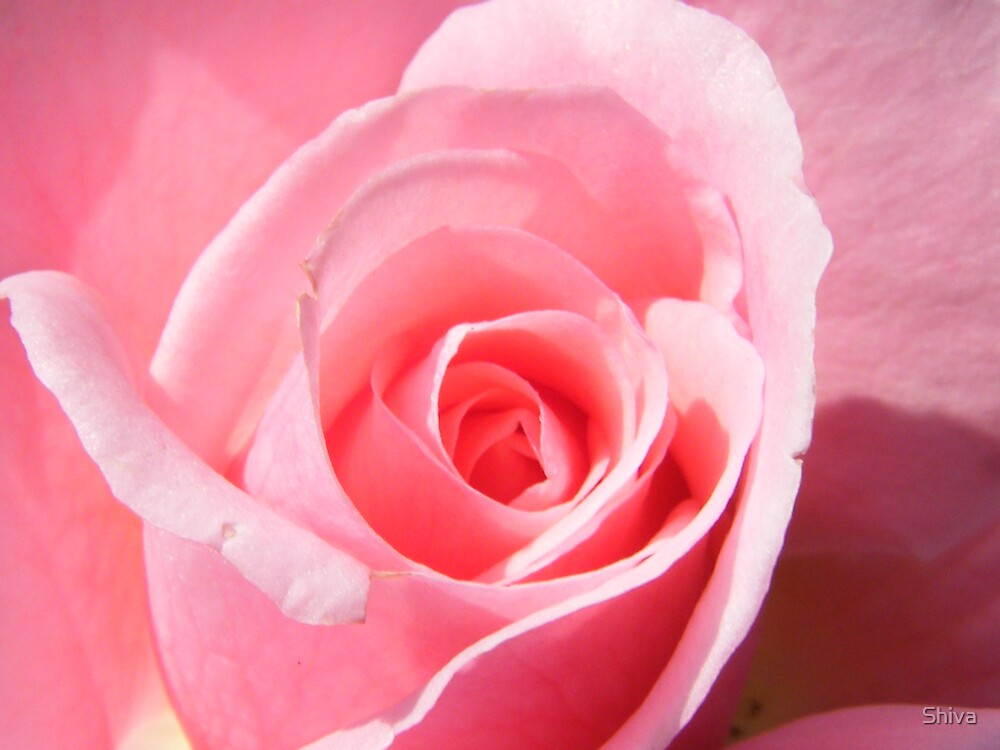 The pink rose by Shiva