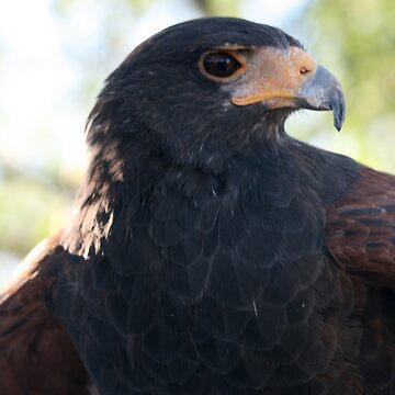 Harris Hawk... by RichImage
