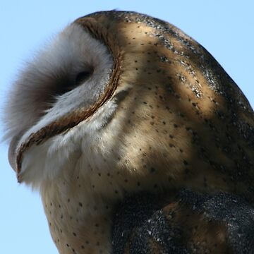 Profile of a barn owl by RichImage