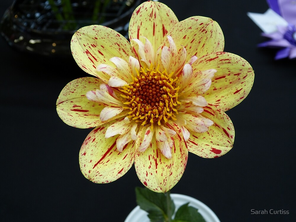 Dahlia #11 by Sarah Curtiss