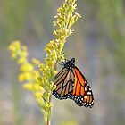 Monarch feeding on Goldenrod  by tonia delozier