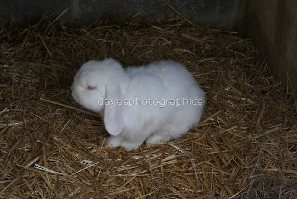 White Fluffy Bunny by davesphotographics