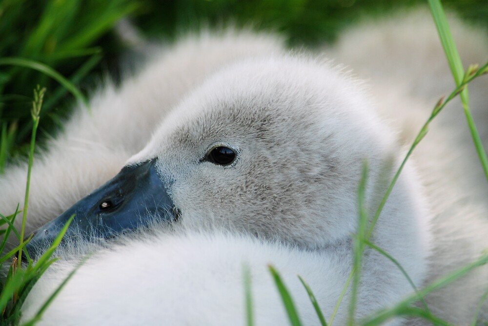 young SWAN by mc27