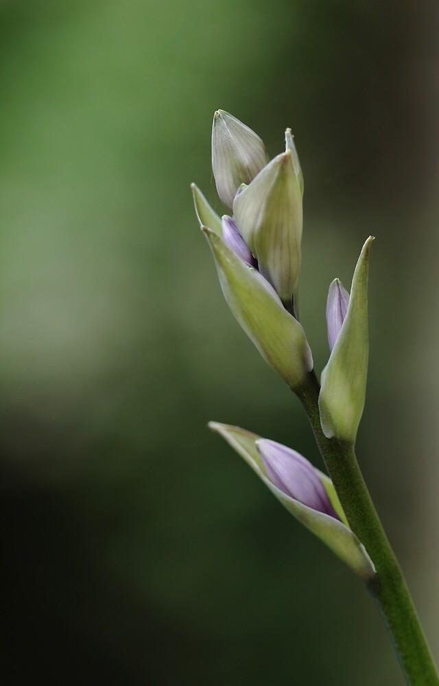 Lavender Buds by Debbie Oppermann