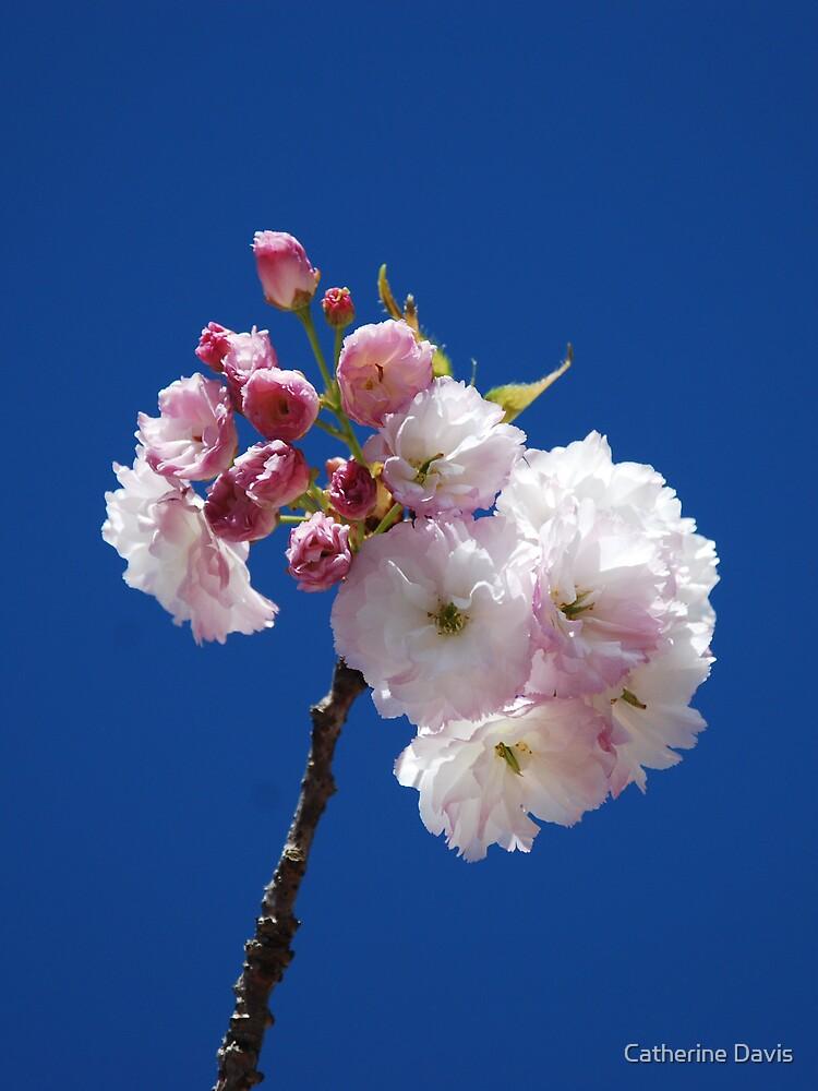 Spring Blossom by Catherine Davis