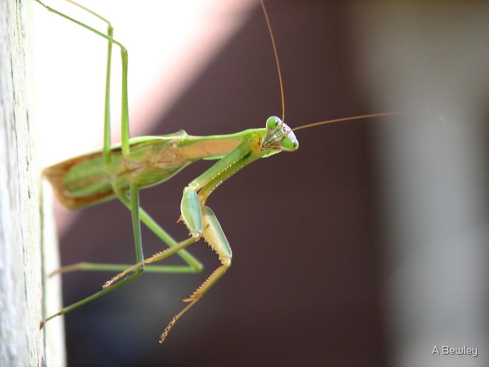 Praying Mantis by A Bewley