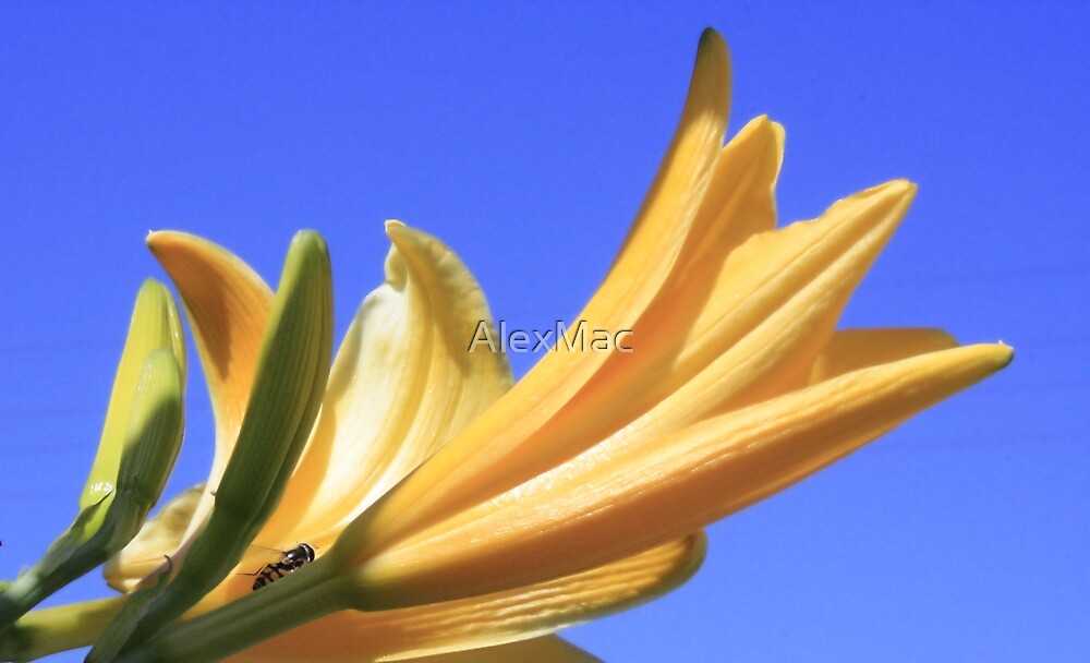 Day Lillies by AlexMac