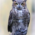 Great Horned Owl Posing for His Portrait by AspenWillow