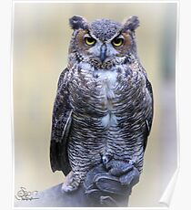 Great Horned Owl Posing for His Portrait Poster