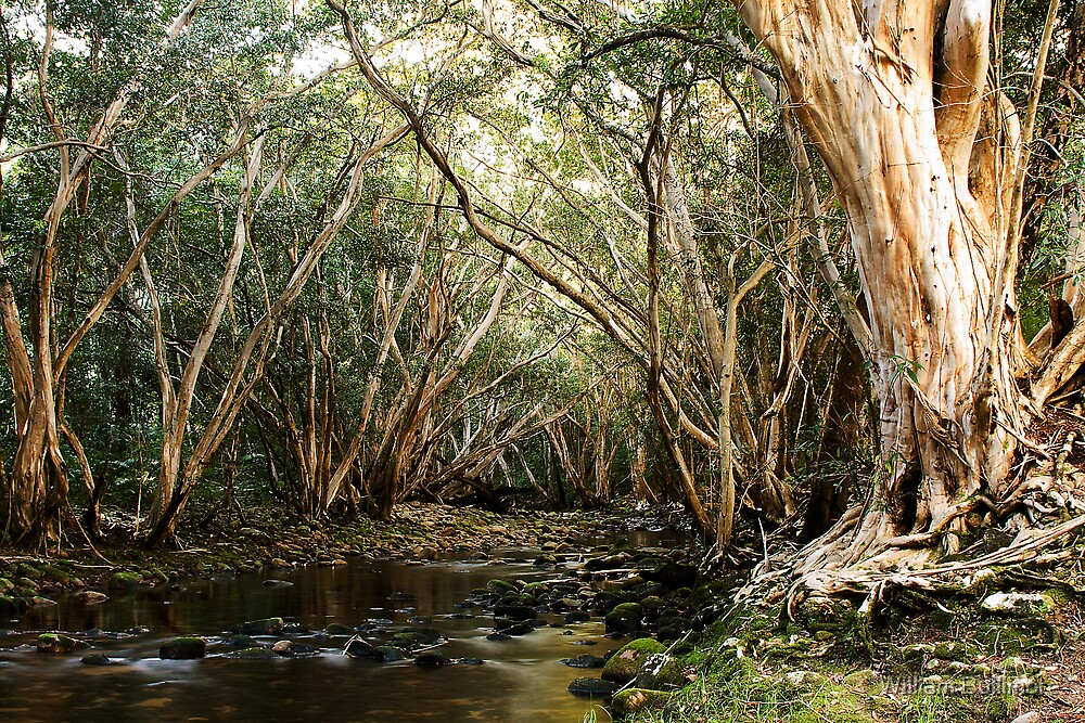 Abergowrie State Forest • Abergowrie • Queensland by William Bullimore