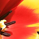 Tulip Series - Pic # 5 by Bekster