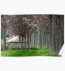Paulownia Trees • Kingaroy • Queensland Poster