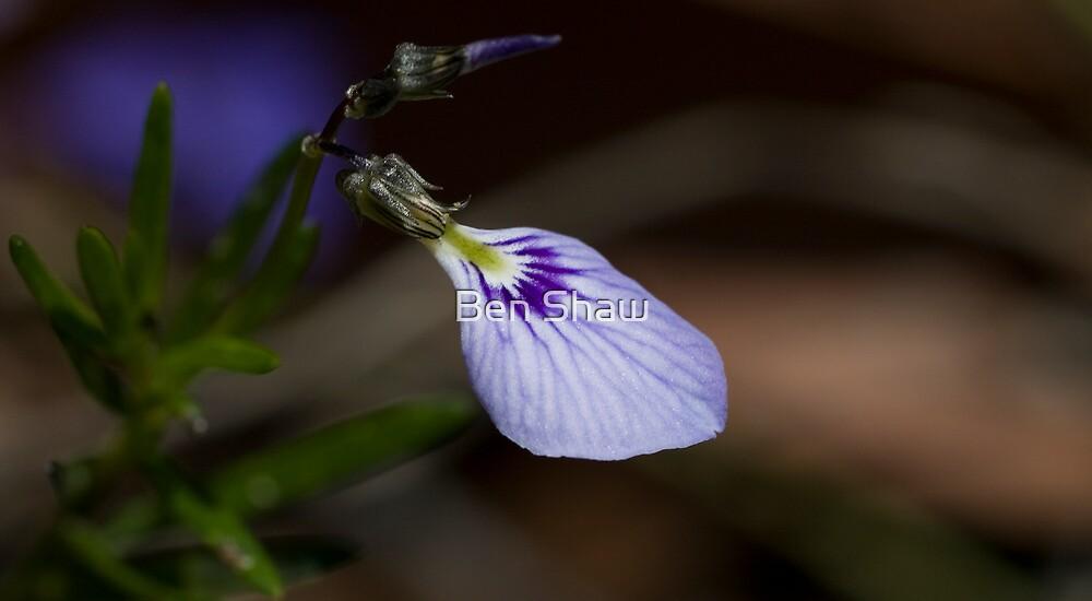 Spade Flower (Hybanthus Vernonii) by Ben Shaw