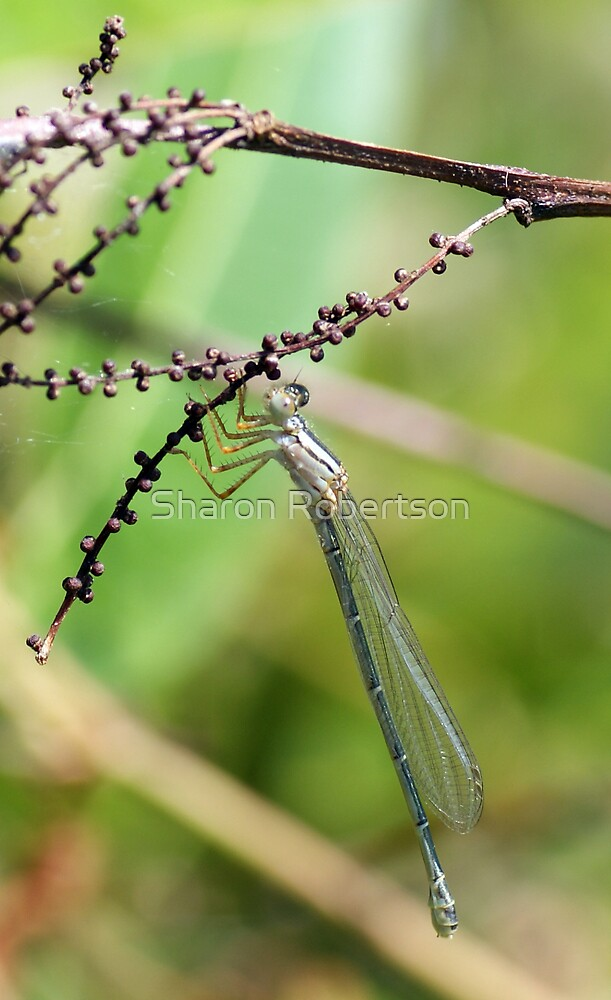 Dragonfly Branch by Sharon Robertson