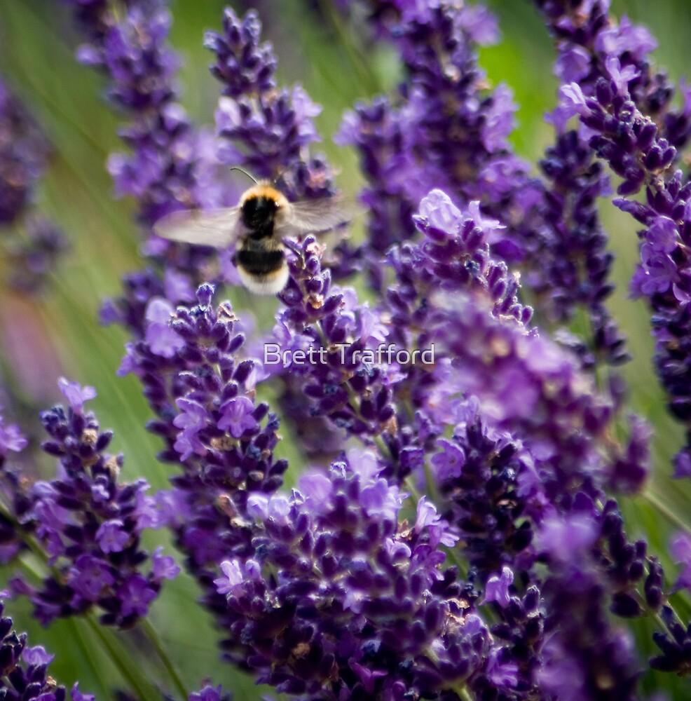 Lavender by Brett Trafford