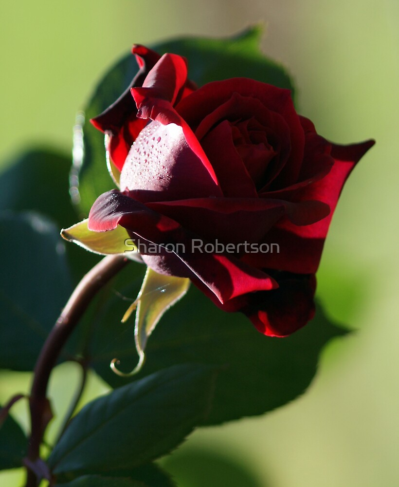 Red Rose by Sharon Robertson