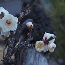 Japan - Gardens and Blossoms by fab2can