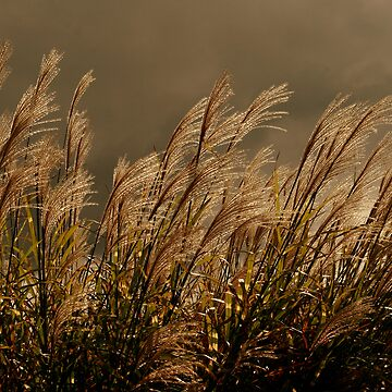 Sunset Grasses by sherryk