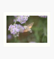 Hummingbird Hawk Moth at Work Art Print