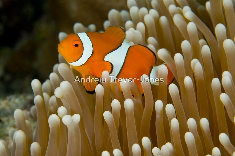 Clown Anemonefish by Andrew Trevor-Jones