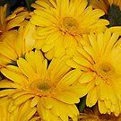 Yellow Chrysanthemums by AnnDixon