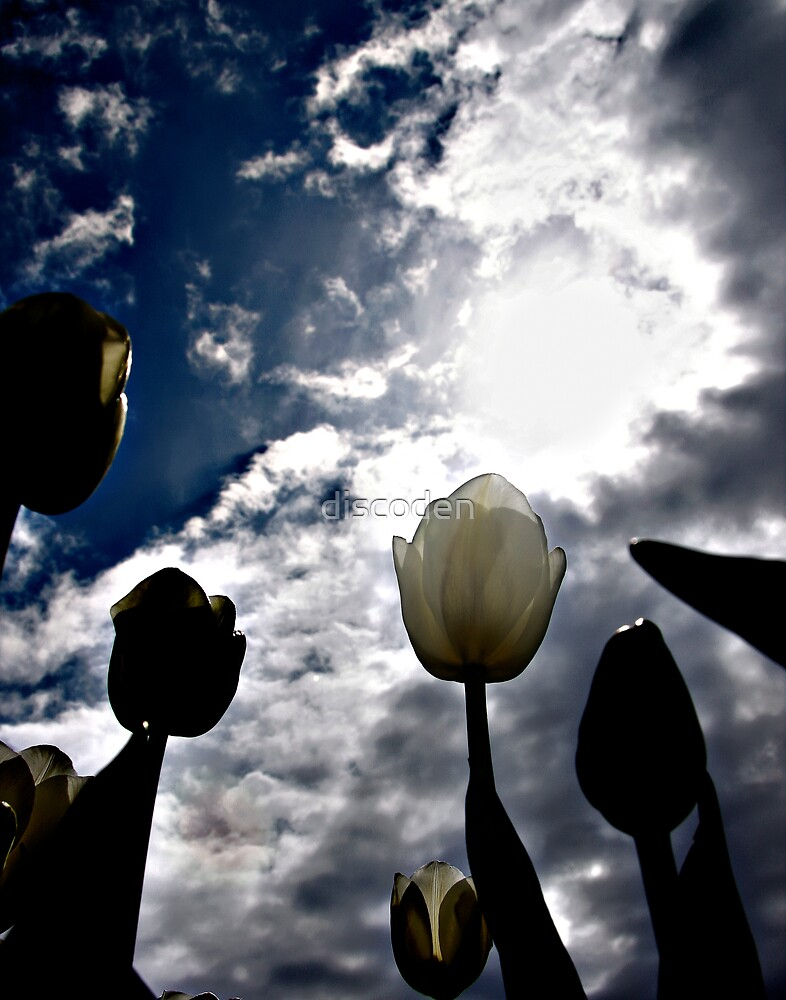 White tulip reaches for the sky by discoden