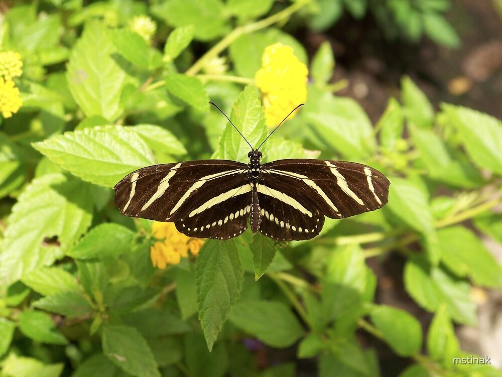 zebra long wing butterfly by mstinak