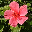 Hibiscus by Fay  Hughes