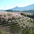 Blossom on the terraces by Fay  Hughes
