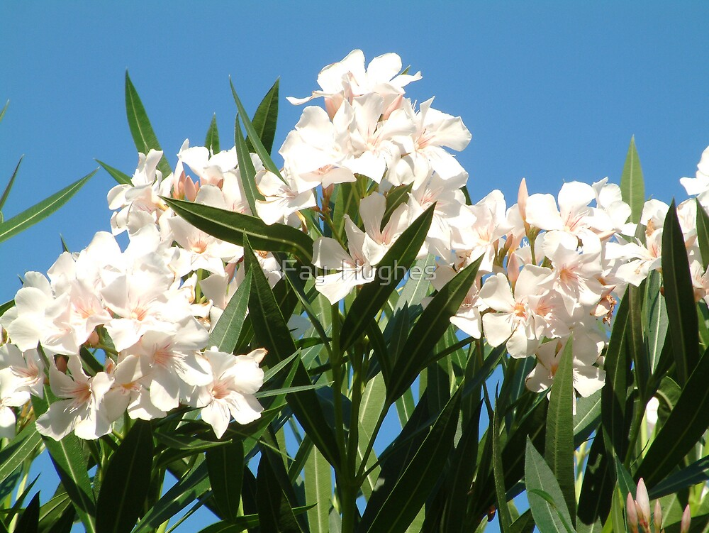 White Oleander by Fay  Hughes