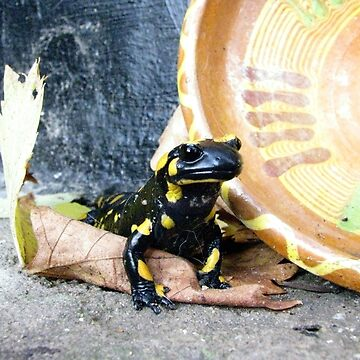 A Spotted Salamander Spotted At Our House In Romania by ZipaC