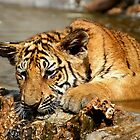 Bengal Tiger Cub Playing by Carole-Anne