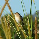 Golden-headed Cisticola in the grass by Jenelle  Irvine