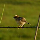 Tightrope walking Cisticola by Jenelle  Irvine