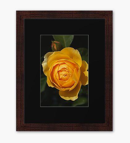 Golden Rich Beautiful Rose Framed Print