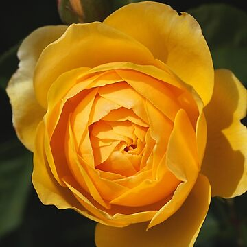 Golden Rich Beautiful Rose by bubbleblue