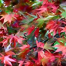 Autumn Acer by David Tovey