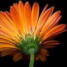 Orange Gerbera by Bonnie T.  Barry