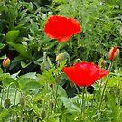 poppy season by jayview