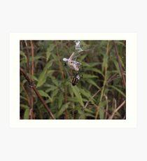 Argiope Trifasciata White Backed Garden Spider  and Grasshopper 2 Art Print